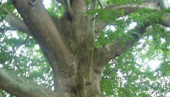 الشجرة المعمرة العملاقة في بورصة